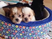 2 Maltipoo available. One male and one female. Have