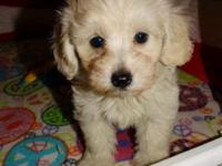 CKC Female cream maltipoo-raised indoors-Vet checked