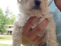 I have one female Maltipoo left. She comes with puppy
