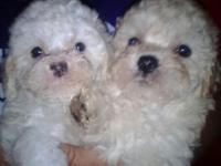 Maltipoo pups ! Birthday april 4 th and eight wks ready