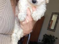 Hi I have one teacup maltipoo left from a litter of