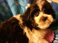 Adorable, sweet, maltipoo baby girl. Ready for her new