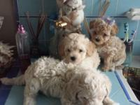 3 Maltipoo boys shots and deworming fine. They will be