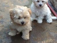 Maltipoo puppies they all have very first shots wormed