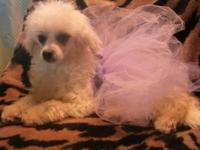 Stunning female maltipoo, 6mths aged. She has actually