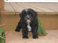 I have one female Malti-poo for sale. She is extremely