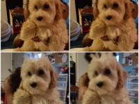 Maltipoo - female 3-21-15 Mom is a poodle Dad is a
