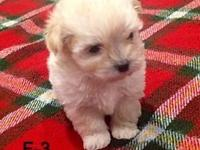 Maltipoo Pup !!! Cooper and Mia are the honored moms