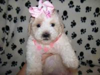 I have Maltipoos - maltese/poodle and I have Yorkipoos-