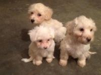 I have one male Maltipoo- Dad is complete Maltese and