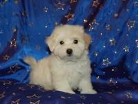Maltipoo Male (mother is the poodle and daddy is the