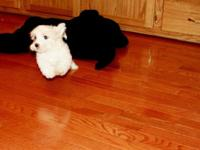 This is Zeke he is a small maltipoo. he i going to be a