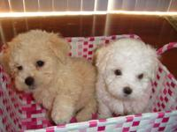 They are non shedding/hypoallergenic maltipoo puppy