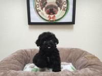 Breed: Maltipoo (Maltese & Poodle Mix) Nickname: Mikey