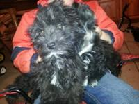I have three males and a female maltipoo puppies. They