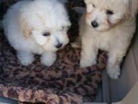 8 week old puppies 2 Males Natural tails Mom is a White