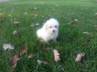 I have a male and two female first generation maltipoo