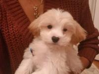 Beautiful litter of maltipoo puppies are ready to go to