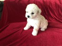 Maltese poodle puppies. males and females avaiable.