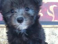 I raise very tiny Maltipoo puppies. Our prices start at