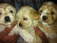 Maltipoo puppies 3 females and 2 males 8 weeks old,