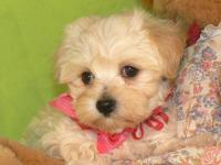 MALTIPOO PUPPIES ! We have gorgeous litter of fluffy