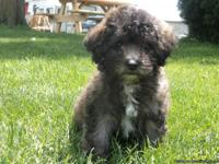 Maltipoo puppies- Ready now!! Adorable quality bred