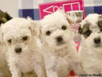 adorable eight week old maltipoo puppies, males &