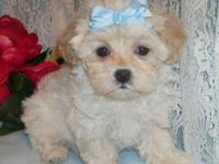 Gorgeous soft and cosy GIRL MALTIPOO PUPS are ready for