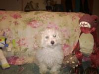 Here are 3 charming Maltipoo young puppies that have to