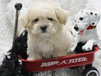 I have 3 lil male maltipoo puppies $575 approx. 6-7