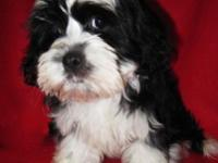 Cute Maltese/teacup Poodle mix puppies are prepared for