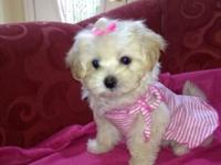 Super adorable maltipoo puppies 8 weeks old They have