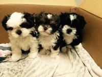 MALTIPOO PUPPIES GORGEOUS MARKINGS, white tri color and