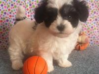 Beautiful Maltipoo puppies. 2 litters to pick from. The