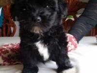 maltipoo puppies ,2 males,8 weeks old,dewormed and