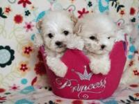 Precious maltipoo puppies! Tea cup size!! Girls and