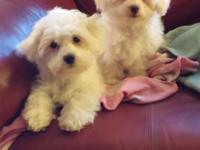 Maltese/Poodle cross young puppies, 12 weeks old. I am