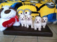 Extremely adorable maltipoo puppies(males and females),