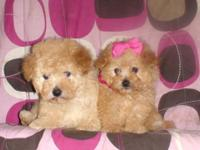 Im have Maltipoo Puppies, 2 Males, 1 Female, toy size,