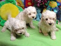 Maltipoo puppies $350 Males white with cream on ears