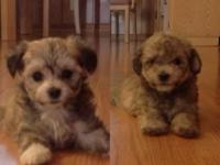 Adorable Maltipoo puppies. 3 boys and 3 girls. The