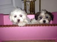 Adorable Maltipoo puppies! 7 weeks old now will be