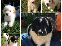 SUPER CUTE! Maltipoo puppies with first shots &
