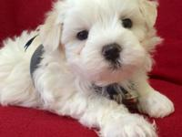wo female 2 months old maltipoo puppies, daddy is