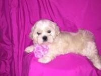 Maltipoo puppies 3 females 12 weeks old ready to go!