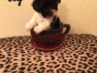 Male and female Maltipoo puppies asking 450 obo male