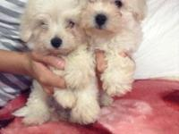 We have two beautiful and playful puppies for sale both