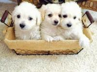Adorable female and male maltipoo puppies! 9 weeks old.
