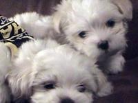 Malti-poo Puppies.They will weigh anywhere from 4-6 lbs